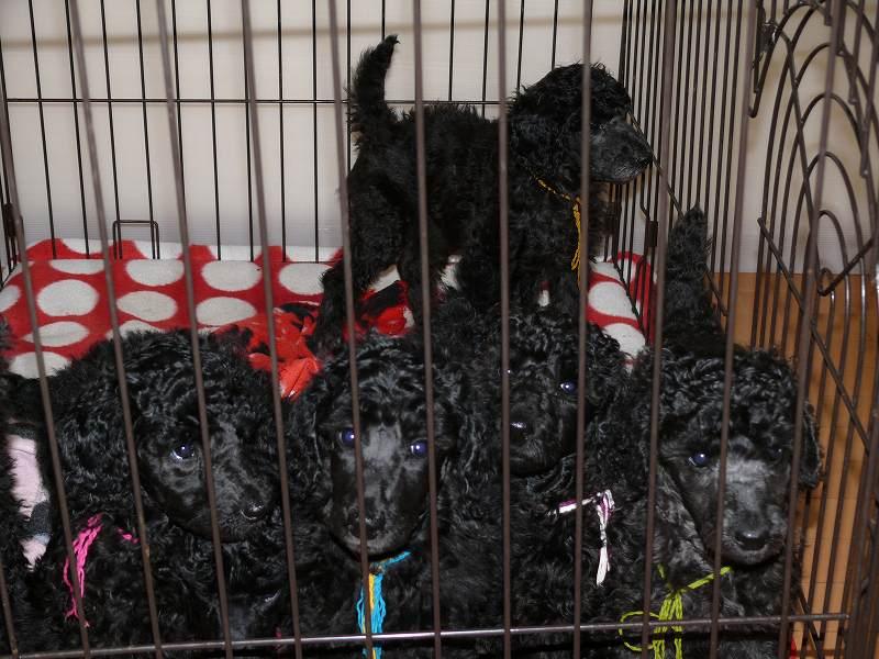 スタンダードプードル 子犬 ブラック